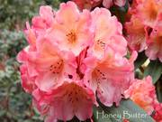 Rhododendrons Delivered to your Door!